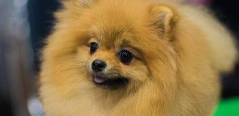 Cómo ser peluquero canino formación