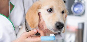 Odontología veterinaria - auxiliar de veterinaria